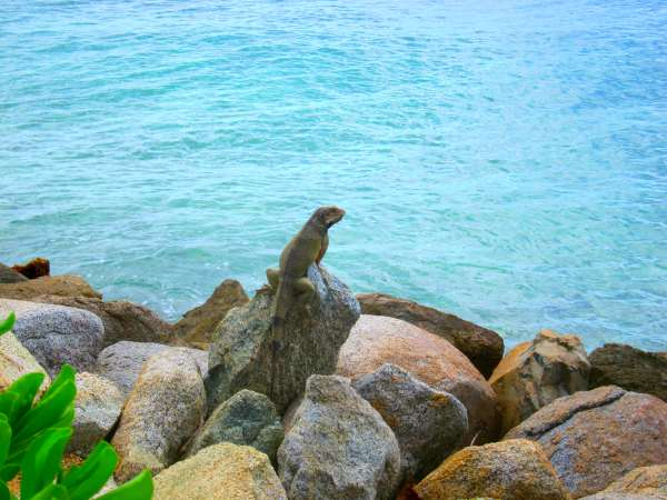Iguana on Aruba's Renaissance Island