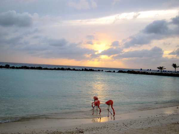 Pink Flamingos at Spa Cove on Aruba's Renaissance Island