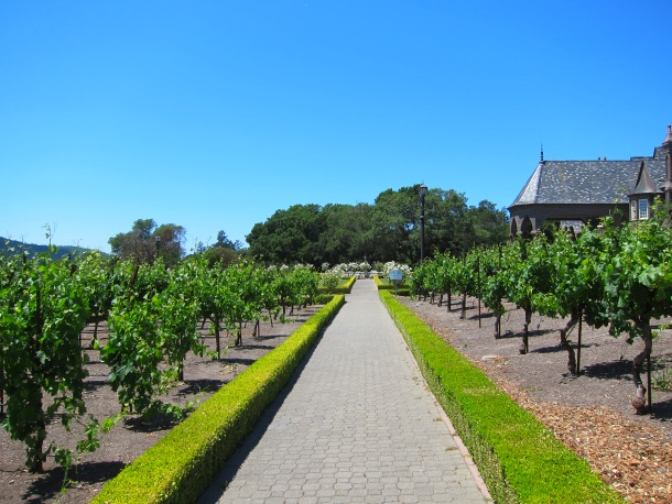 Ledson Winery Vineyards in Sonoma California_3267
