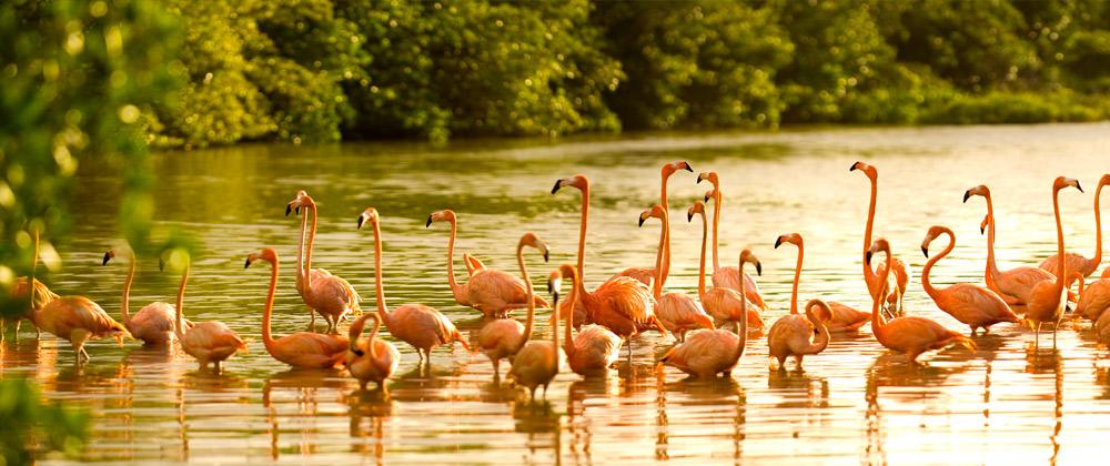 Flamingos on Richard Branson's private island, Necker Island