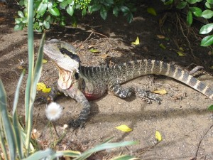 eastern water dragon on Manly Beach Trail in Australia