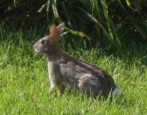 Wild Rabbit on Manly Beach Trail in Australia