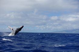 Humpback whale tour maui hawaii december 2016-DSC07296