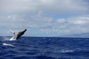 Humpback whale tour maui hawaii december 2016-DSC07296