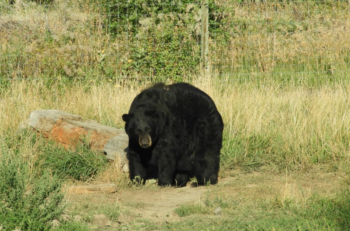 Yellowstone Bear World Social Vixen